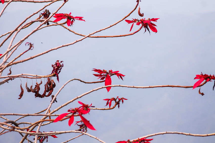 Poinsettia Flower Pointsettia Tree Red Branch Sky Nature No People Winter Plant Close-up Day Outdoors