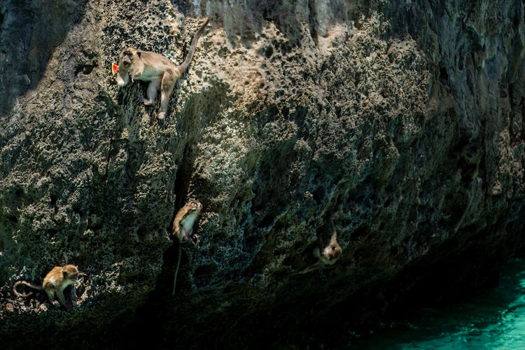 Monkeys on rock formation by sea