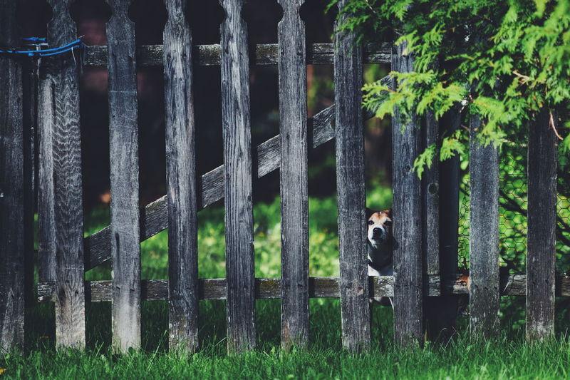 Dog stuck in fence in yard