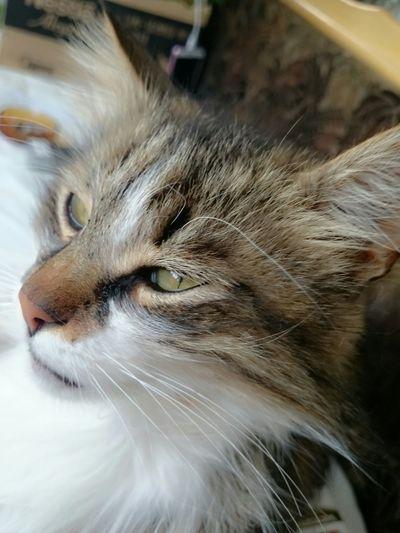 Cat Justlaying Lazycat