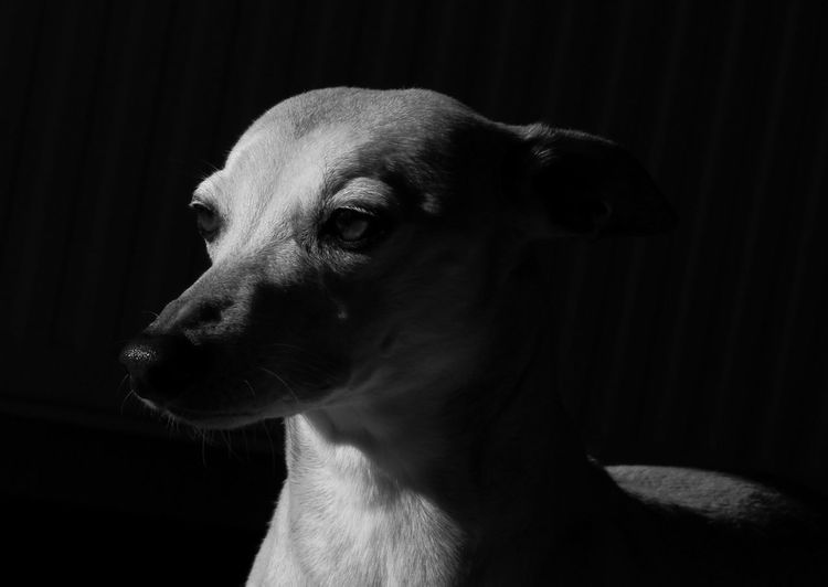 Close-up portrait of dog looking away at home
