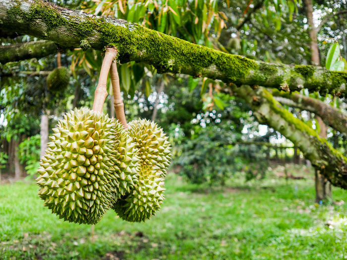 Durian king of