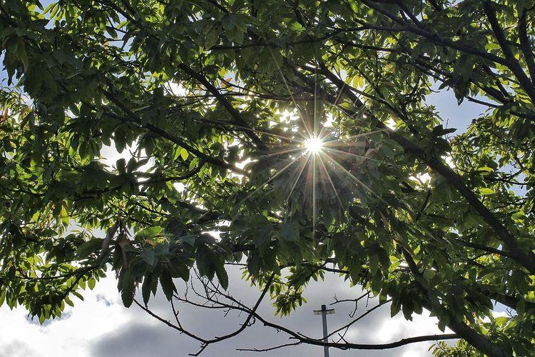 Sunraise Tree