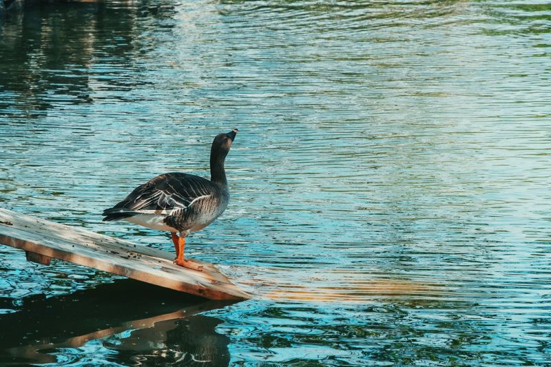 greylag Wild Goose  Greylag Water Vertebrate Bird Animal Animal Wildlife Animal Themes Animals In The Wild Outdoors No People Duck Nature Reflection Lake Day Rippled One Animal Waterfront Poultry Water Bird