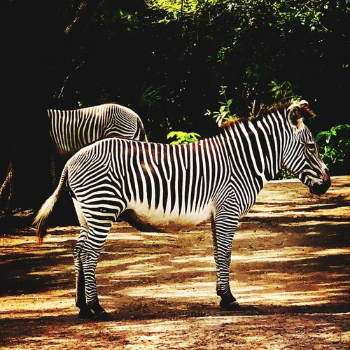 Nothing is ever black or white... Striped Zebra Animals In The Wild Mammal Animal Themes Animal Markings Animal Wildlife Safari Animals One Animal Nature