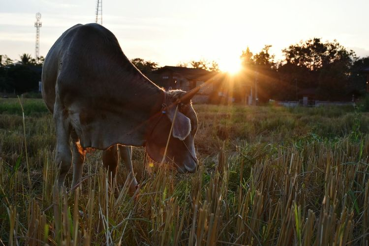Bull Grazing On Field During Sunset