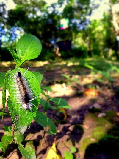 Leaf Plant Part Day One Animal Beauty In Nature Insect Outdoors Invertebrate Focus On Foreground No People Close-up Green Color Animal Themes Caterpillar