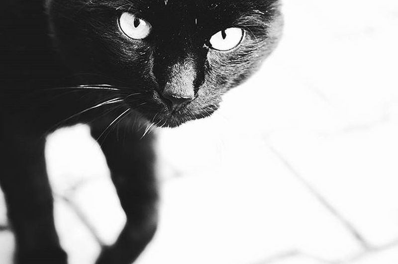 Blackandwhite Bw Animals Pet Cats Cat Cute Instagood Tagsforlike BLackCat View InMotion Inmove Mew Mewmew