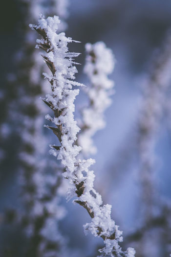Snow Winter Cold Temperature Plant Beauty In Nature Close-up Nature Focus On Foreground No People Day Frozen Growth Ice Tree Branch White Color Frost Tranquility Selective Focus Outdoors Fir Tree Coniferous Tree