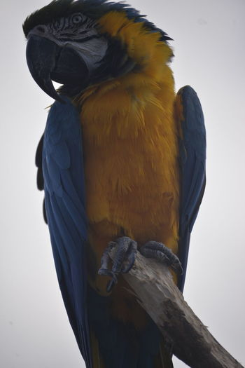 Animal Themes Animal Wildlife Animals In The Wild Beak Bird Close-up Day Gold And Blue Macaw Low Angle View Macaw Nature No People One Animal Outdoors Perching