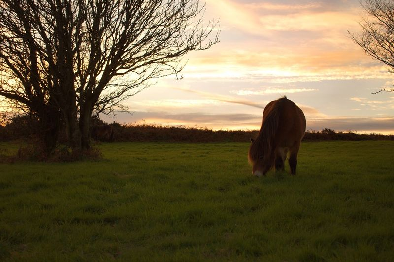 Field Grass Domestic Animals Animal Themes Sunset Mammal One Animal Tree Nature Landscape Sky Tranquil Scene Tranquility Grazing No People Livestock Beauty In Nature Outdoors Scenics Bare Tree