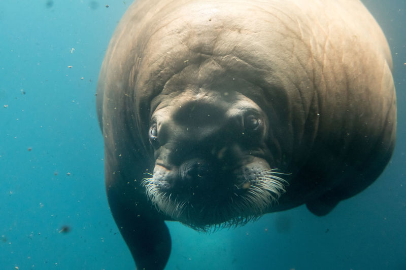 Close-Up Of Walrus In Sea