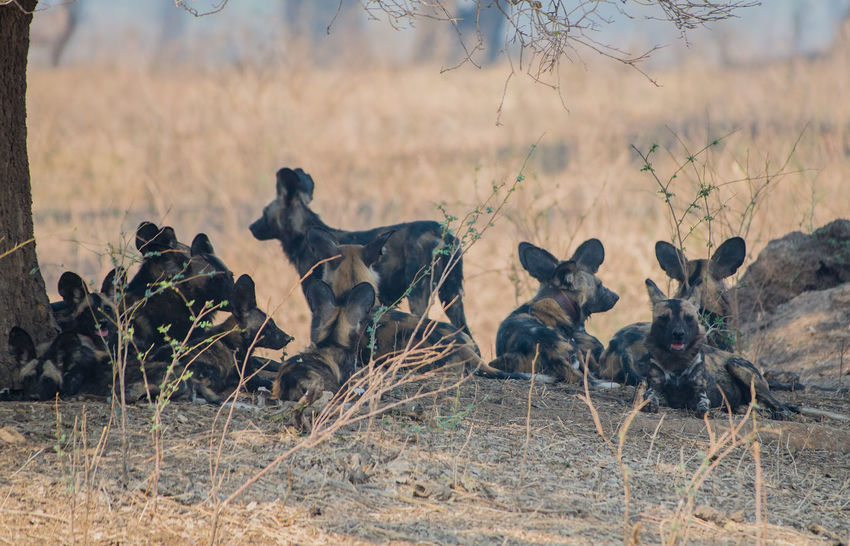 African wild dogs in the Savannah off in Zimbabwe, South Africa Colorful Wolf Hwange-Nationalpark Hyena Lycaon Pictus National Park Nature South Africa Wild Dog Herds Wildlife Refuge Zimbabwe African Wild Dog Animal Themes Dog Herd Animal Hyena Dog Mammal Predator Safari Sahara Social Animal Strongly Threatened Wildlife