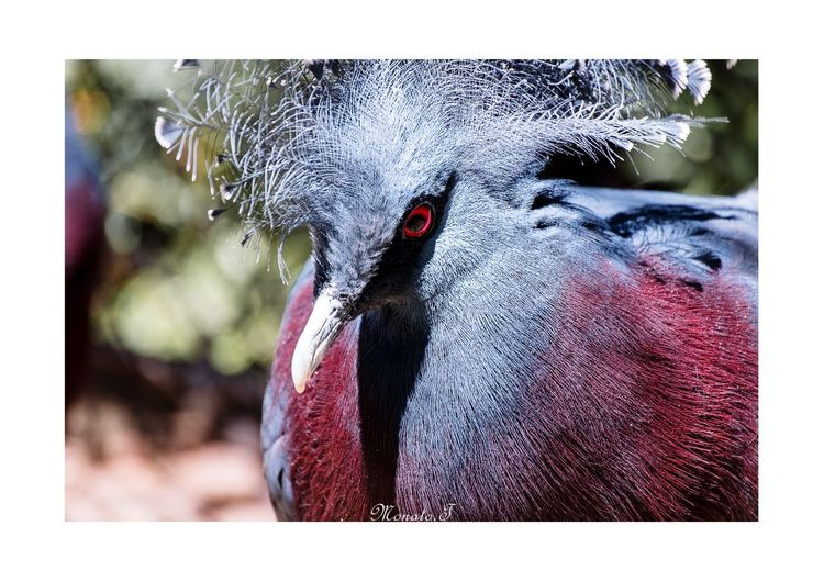 Goura victoria. Pentax Photographyislife Pigeon Bird Animal Goura Victoria Folding Fan Redeyes Down Close-up