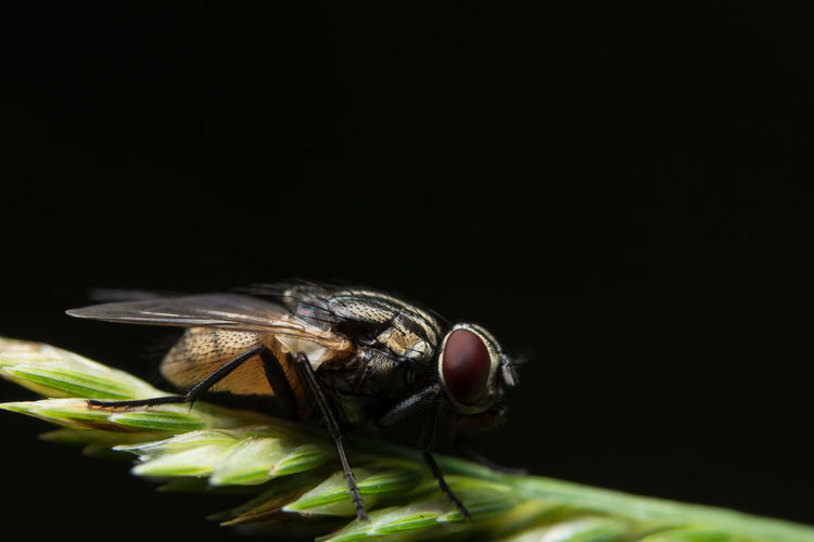 Close-up of housefly on black background