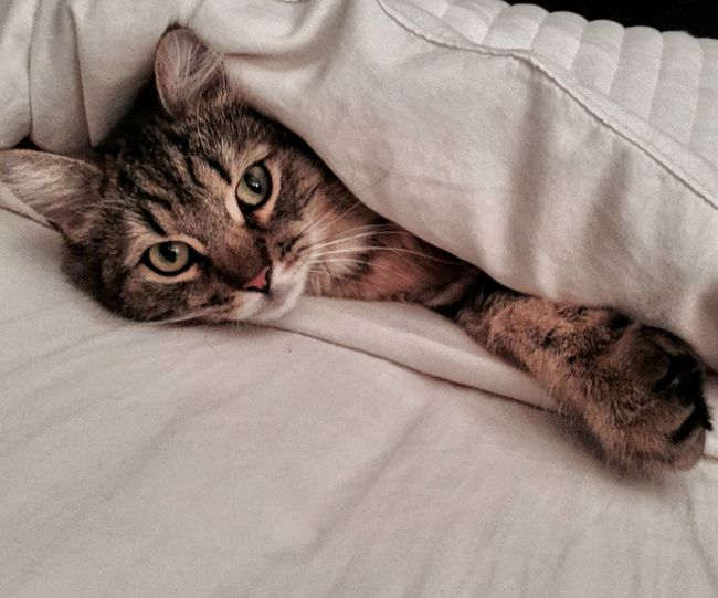 Portrait Of Tabby Cat Under Sheet On Bed At Home