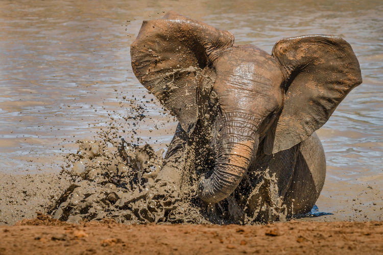 Close-up of elephant drinking water