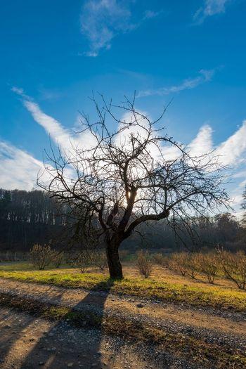Old apple tree Sky Cloud - Sky Cultivated Land Farmland Single Tree Countryside