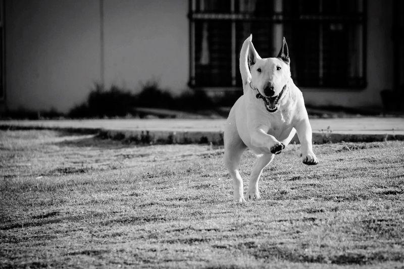 Musa Muza Dog Blackandwhite My Dog Bullterrieringles Bullterrier Smile Photography I Love My Dog