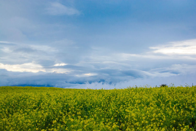Tierra Blanca, Cartago, Costa Rica Agriculture Beauty In Nature Cloud - Sky Day Field Flower Freshness Green Color Growth Landscape Nature No People Oilseed Rape Plant Rural Scene Scenics Sky Tranquil Scene Tranquility Yellow