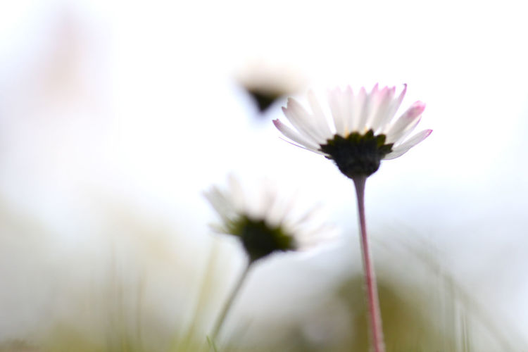 Beauty In Nature Daisy Daisys And Sky Day Flower Outdoors