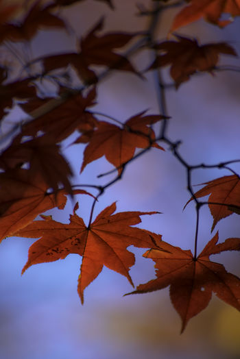Beautiful maple leaves on blue sky background Autumn Plant Part Leaf Change No People Nature Close-up Leaves Plant Tree Orange Color Beauty In Nature Focus On Foreground Day Maple Leaf Sky Outdoors Maple Tree Growth Vulnerability  Branch Natural Condition Tranquility Autumn Collection