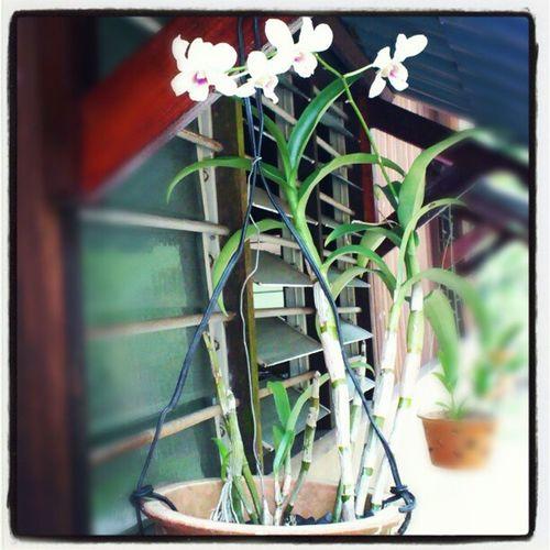 Bunga orchid ni klu da berbunga bnyak. Mmg ak bole bkak bisnes arr Orchid Orkid Flowers Bukitkuching nursery forsale