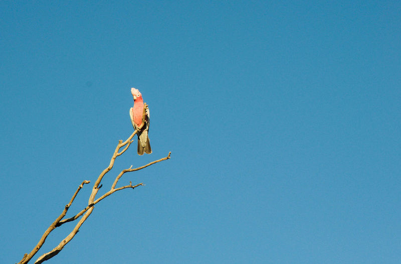 Pink and grey galah bird perching on leafless branch with a blue sky background in Western Australia. Animal Animal Wildlife Animals In The Wild Avian Beauty In Nature Bird Blue Branch Clear Sky Galah Grey Leafless Low Angle View Nature One Animal Outdoors Perched Perching Pink Rose-breasted Roseate Sky Tree Western Australia Wildlife