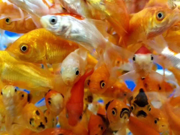 Goldfish Goldfish In Water Group Of Goldfish