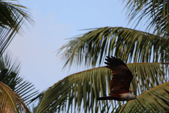 Eagle Palm Tree Kerala Kerala India Fly Animal Wonderful Incredibleindia India Lovelife Canon Eos  Travel Photography Backwater