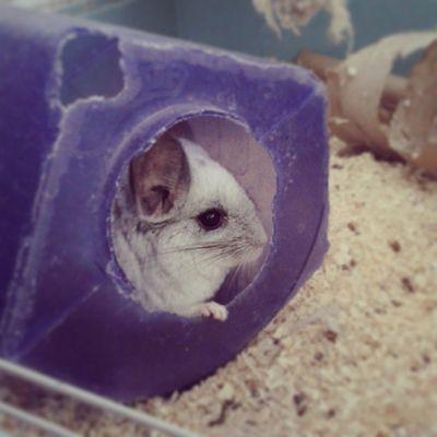 My clean little madam! Chinchilla Mosaic Littlefeeties Clean bathtime dustbath makingmesneeze