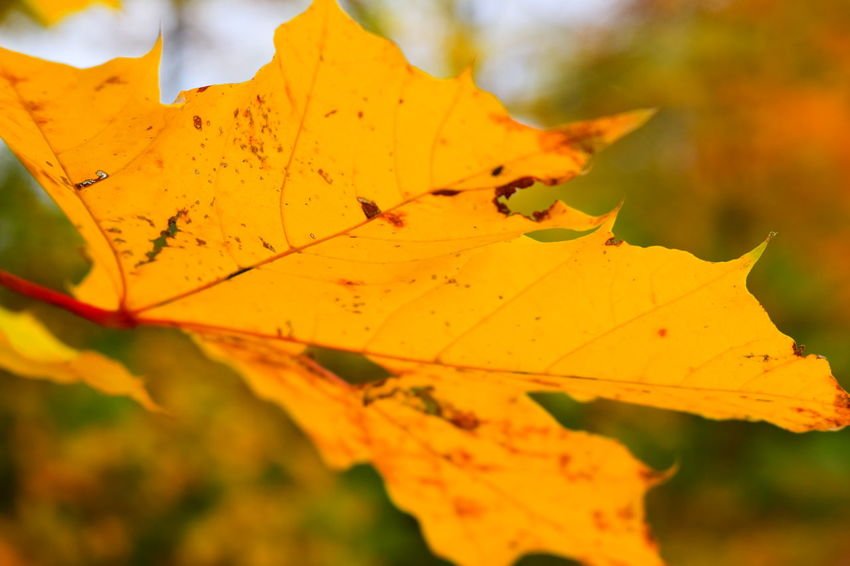 Leaf Close-up Yellow Autumn Outdoors Fragility Orange Color Showcase October Autumn Leaves Season  Autumn 2016 October 2016 Autumn Is The Spring Of Winter 🍂🍁 Wood - Material Bokeh Autumn🍁🍁🍁 How Is The Weather Today? Focus On Foreground Scenics Bokeh Get Closer