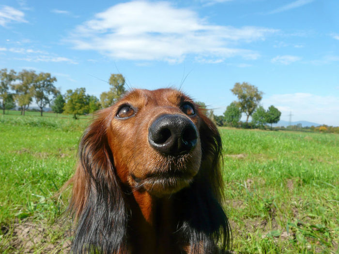 LONG HAIRED DACHSHOUNG - LANGHAARDACKEL Dackel Animal Themes Beauty In Nature Big Nose Dog Close-up Cloud - Sky Dachshound Day Dog Domestic Animals Field Grass Green Color Landscape Long Haired Dachshund Looking At Camera Mammal Nature No People One Animal Outdoors Pets Portrait Sky Tree