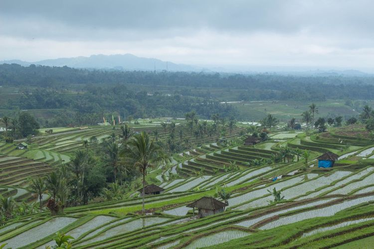 Rice terraces Agriculture Growth Landscape Field Plant Land Farm Scenics - Nature Rural Scene Beauty In Nature Crop  Environment Tranquil Scene Tranquility Sky Nature Cloud - Sky Tree Green Color Day