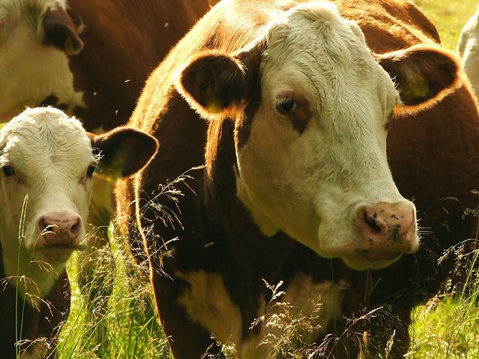Calfs Calf And Cow Meat Cattle Cow Face Cowfarm Cowfamily Meat Cattle Staring At Me Animalphotography Potrait Of Cow Social Issues Agriculture Close-up Farm Animal Highland Cattle Domestic Cattle Cattle Cow Dairy Farm Calf Domesticated Animal Tag