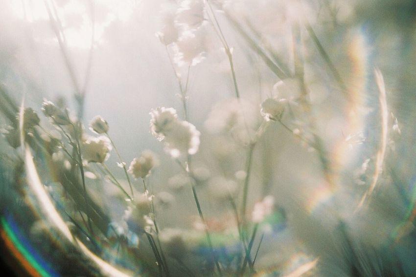 Film Filmcamera Film Photography Filmisnotdead 35mm Film Pentax Pentax Super-a Fujifilm Sunlight Lens Flare Flower フィルム レンズフレア