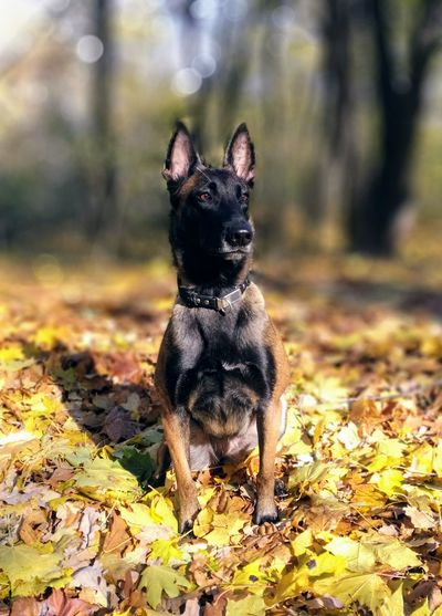 Portrait of dog in forest during autumn