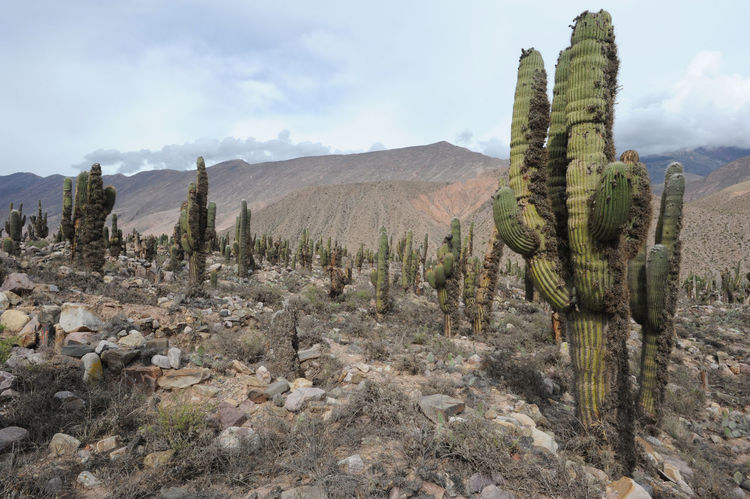 Archeological Site Argentina Arid Climate Beauty In Nature Cactus Day Desert Growth Jujuy Landscape Mountain Nature No People Outdoors Plant Pucara Saguaro Cactus Scenics Sky Tilcara Tranquility Wilderness Area