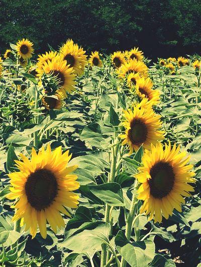 Flower Yellow Nature Sunflower Beauty In Nature