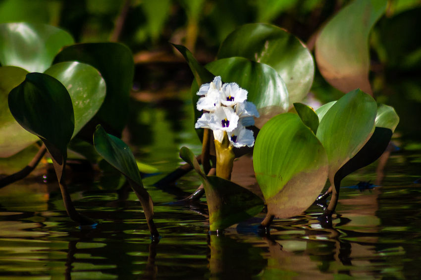 Brazil Plant Riverside Water Hyacinth Beauty In Nature Brasil Close-up Flower Flower Collection Flowering Plant Flowers Nature No People Outdoors Plant River Tocantins Tocantins Brasil Tocantins Brazil Water Flowers Water Plant The Traveler - 2018 EyeEm Awards