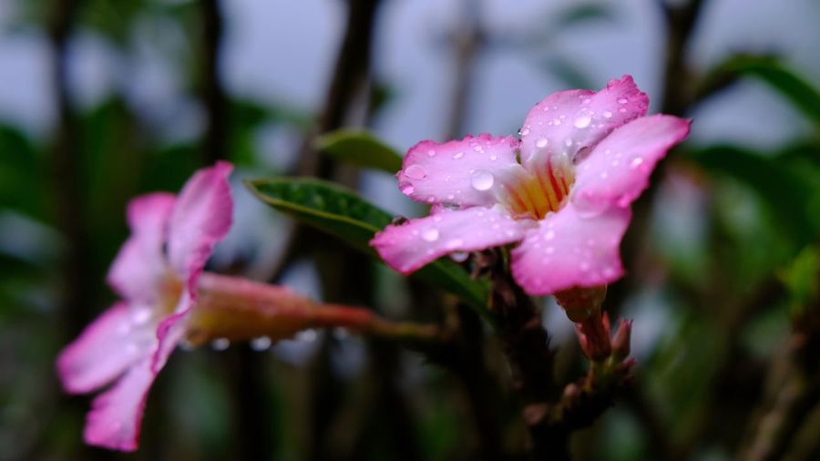 Flower Petal Fragility Nature Beauty In Nature Drop Wet Growth Flower Head Water No People Freshness Blooming Pink Color Day Outdoors RainDrop Close-up Plant Periwinkle Thailand Adenium Adeniumflowers Bokeh Background
