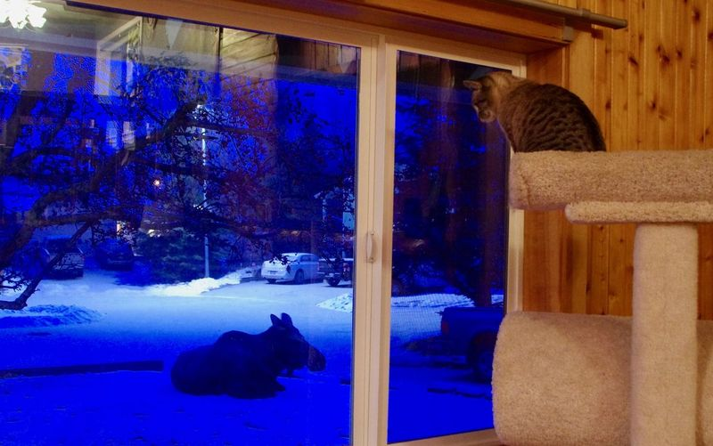 A Cat Is Watching A Moose Animal Themes Animals In The Wild Cold Temperature Domestic Cat Night Snow Winter