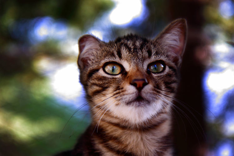 A cat with asymmetrical ears. Cats Of EyeEm Animal Themes Cat Cats Close-up Day Domestic Animals Domestic Cat Ear Ears Feline Focus On Foreground Looking At Camera Mammal No People One Animal Outdoors Pets Portrait Whisker