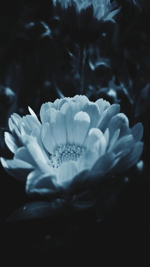 Flower Flower Head Black Background Water Petal Close-up Dissolving UnderSea Dye Snowcapped Colliding Whale Shark School Of Fish Sea Anemone Ocean Floor Red Sea Snow Covered Tropical Fish Reef Underwater Carbonated Snowflake Ice Crystal Sea Life Soft Coral Clown Fish Stingray Coral Jellyfish