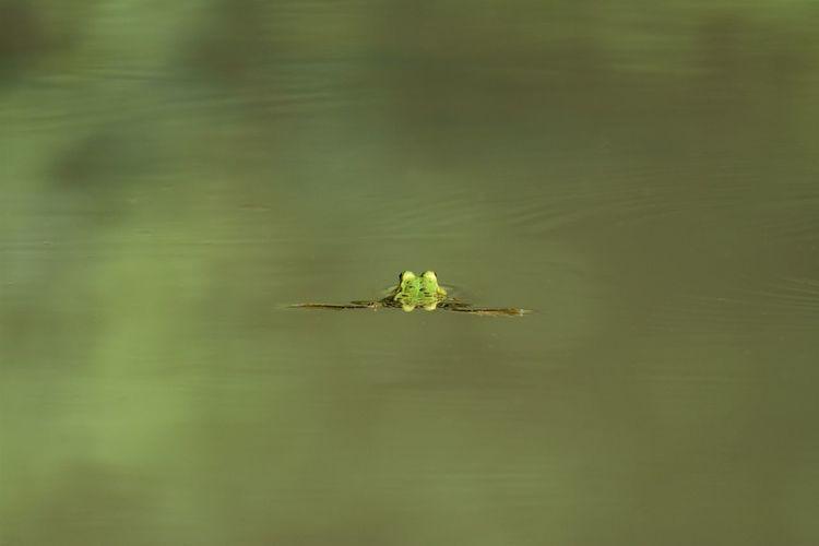 Grasshopper on a lake