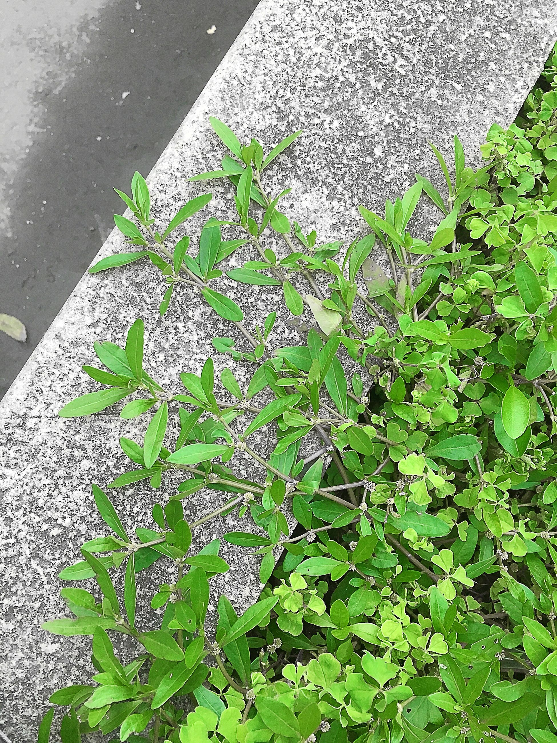 leaf, growth, plant, high angle view, green color, nature, close-up, day, outdoors, growing, wall - building feature, street, no people, flower, sunlight, freshness, ivy, built structure, fragility, building exterior