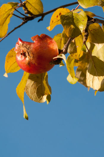 Autumn Autumn Colors Autumn Leaves Beauty In Nature Clear Sky Close-up Day Food Fruit Leaf Nature No People Outdoors Rotten Apple Rotten Fruit Sky EyeEmNewHere