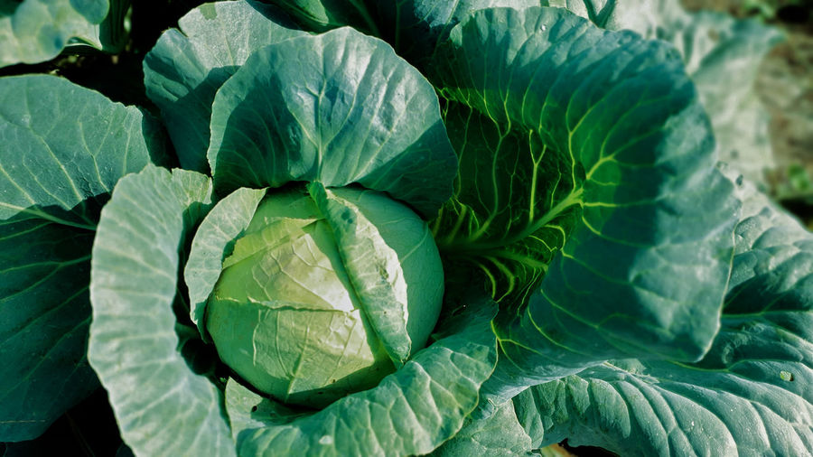 Close-up of green leaves of cabbage