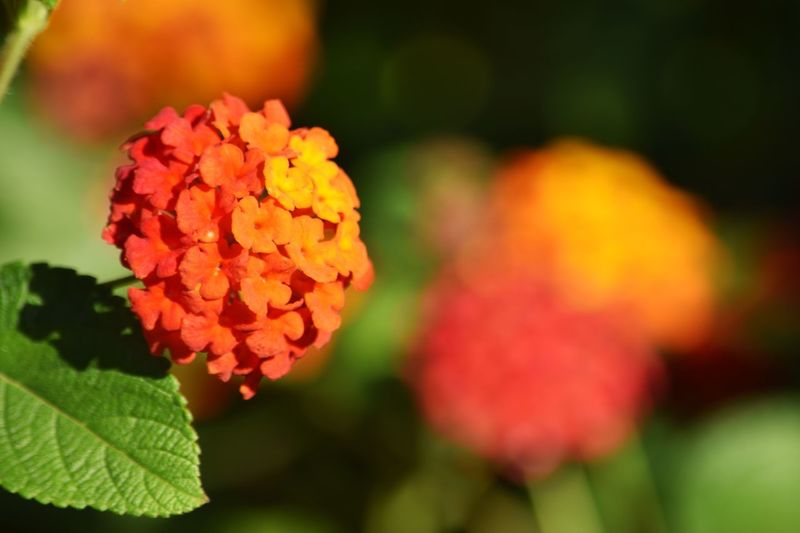 Bright Springtime (Lantana) Flowering Plant Flower Beauty In Nature Plant Fragility Vulnerability  Freshness Flower Head Lantana Focus On Foreground Growth Petal
