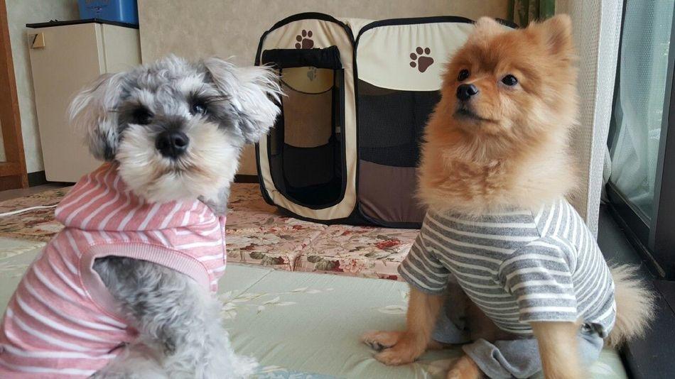 Pets Dog Animal Cute Japan Pretty Cocoaya シュナウザー ポメラニアン One Animal Indoors  Day